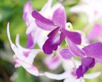 Mooie purpere orchideebloem in tuin Royalty-vrije Stock Foto's