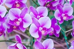 Mooie purpere orchideephalaenopsis Stock Afbeeldingen