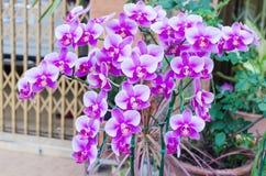 Mooie purpere orchideephalaenopsis Stock Foto's