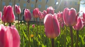 Mooie purpere tulpen in de pan van de avondzonsondergang lightbath stock video