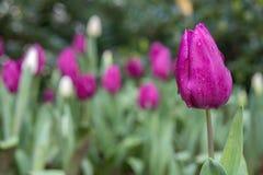Mooie purpere tulpen in tuin royalty-vrije stock foto's