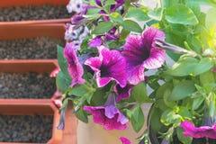 Mooie purpere, witte en petuniakoralen, bloemdozen op het balkon op een warme zonnige dag In de dozen voor het planten is de bloe stock afbeeldingen