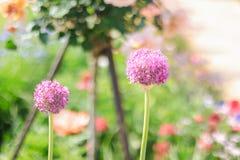 Mooie purplesbloem die in de de zomer of de lentedag bloeien Stock Fotografie