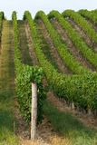 Mooie rijen van druiven van Hongarije Stock Foto's