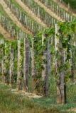 Mooie rijen van druiven van Hongarije Royalty-vrije Stock Afbeelding