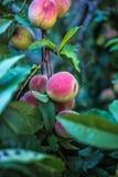 Mooie rijpe perziken Stock Afbeelding