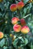 Mooie rijpe perziken Royalty-vrije Stock Fotografie