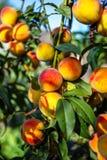 Mooie rijpe perziken Stock Afbeeldingen