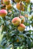 Mooie rijpe perziken Stock Fotografie