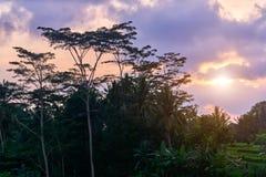 Mooie rijstterrassen bij zonsondergang in Ubud, het eiland van Bali Royalty-vrije Stock Fotografie