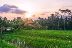 Mooie rijstterrassen bij zonsondergang in Ubud, het eiland van Bali Stock Foto