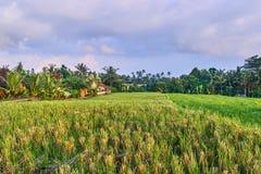 Mooie rijstterrassen in Ubud, het eiland van Bali Stock Afbeeldingen