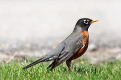 mooie Robin stock afbeeldingen