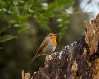 Mooie Robin die in het park zingen Royalty-vrije Stock Foto