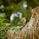 Mooie Robin die in het park zingen Stock Afbeeldingen