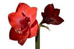 Mooie rode amaryllis op witte achtergrond Stock Afbeeldingen