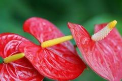 Mooie Rode Anthuriumbloemen, Drie flamingobloem stock fotografie