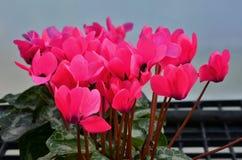 Mooie rode begoniabloemen royalty-vrije stock afbeelding