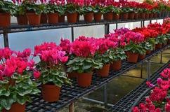 Mooie rode begoniabloemen stock afbeeldingen