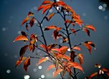 Mooie rode bladeren in de herfst Stock Fotografie