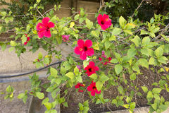 Mooie rode bloeiende Hibiscus Royalty-vrije Stock Foto