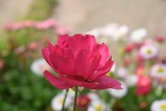 Mooie rode bloem die bij zijn hoogtepunt bloeien Stock Afbeelding
