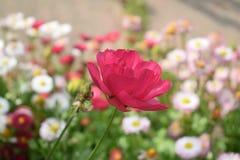 Mooie rode bloem die bij zijn hoogtepunt bloeien Royalty-vrije Stock Fotografie