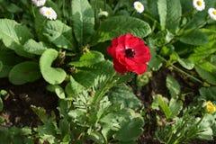 Mooie rode bloem in het midden Stock Afbeeldingen