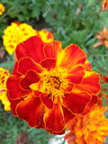 Mooie rode bloemblaadjes Stock Afbeelding
