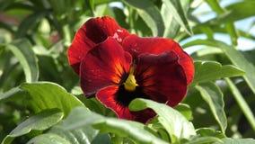 Mooie rode bloemen stock videobeelden
