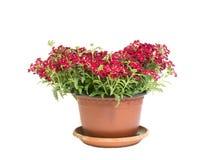 Mooie rode bloemen in bloempot die op witte achtergrond wordt geïsoleerd Stock Foto