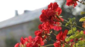 Mooie rode bloemen buiten stock video