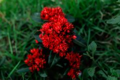 Mooie rode bloemen in groen Surat Thani Thailand stock foto