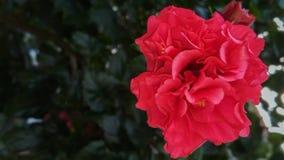 Mooie rode bloemstruik, ooit groene installatie stock afbeeldingen