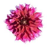Mooie rode dahlia Op de bloemblaadjes van een daling van water na rai Stock Afbeeldingen