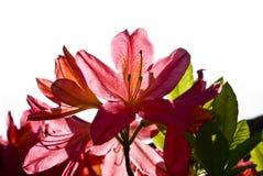 Mooie rode die azaleabloem op wit wordt geïsoleerd Stock Foto's