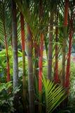 Mooie rode die lippenstiftpalm in huistuin wordt verfraaid Stock Afbeeldingen