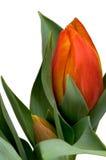 Mooie rode die tulp op wit wordt geïsoleerd Stock Afbeeldingen