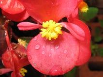 Mooie rode en gele bloem op tuin volledige macrowijze Stock Afbeeldingen