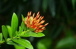 Mooie rode en gele bloem in Roatan, Honduras royalty-vrije stock afbeelding