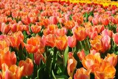 Mooie rode en gele bloemen Royalty-vrije Stock Fotografie