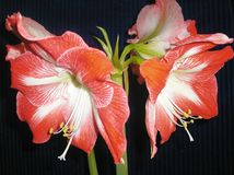 Mooie rode en witte amaryllis royalty-vrije stock afbeeldingen