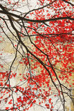 Mooie rode esdoorn grungy achtergrond Royalty-vrije Stock Afbeeldingen