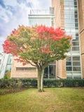 Mooie rode esdoornboom dichtbij Osulloc-de tuin van het theemuseum op blauwe hemelachtergrond, het beroemde groene theemuseum in  Stock Foto