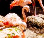Mooie rode gekleurde vogel - Phoenicopterus ruber Rode flamingo Stock Foto