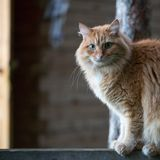 Mooie rode kat stock afbeeldingen