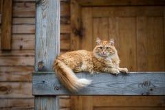 Mooie rode kat stock afbeelding