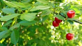 Mooie rode kersenbessen en groene bladeren Het knipperen bokeh van de windslagen Mooie Zonnige dag in het bos stock videobeelden