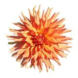 Mooie rode oranje dahlia Stock Foto's