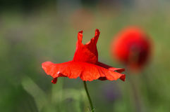 Mooie rode papaver Stock Afbeeldingen
